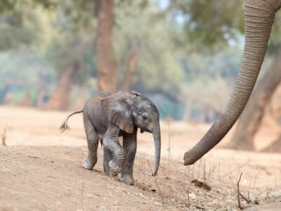 A How Much Do Baby Elephants Weigh?