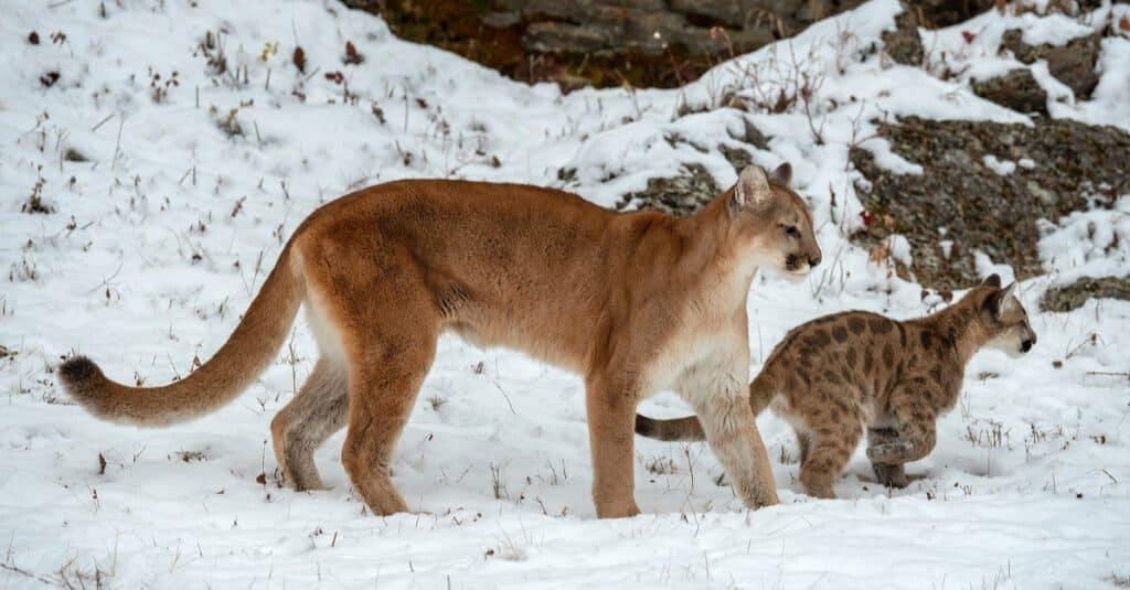 11 Incredible Mountain Lion Facts - Mountain Lion Cub
