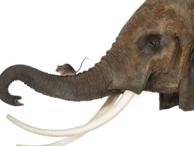A Are Elephants Really Afraid of Mice?