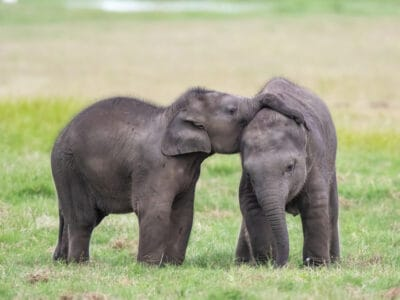 A Elephant Twins! Is this Even Possible?