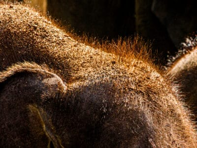 A Hairy Elephants: What is the Purpose of Elephant Hair?