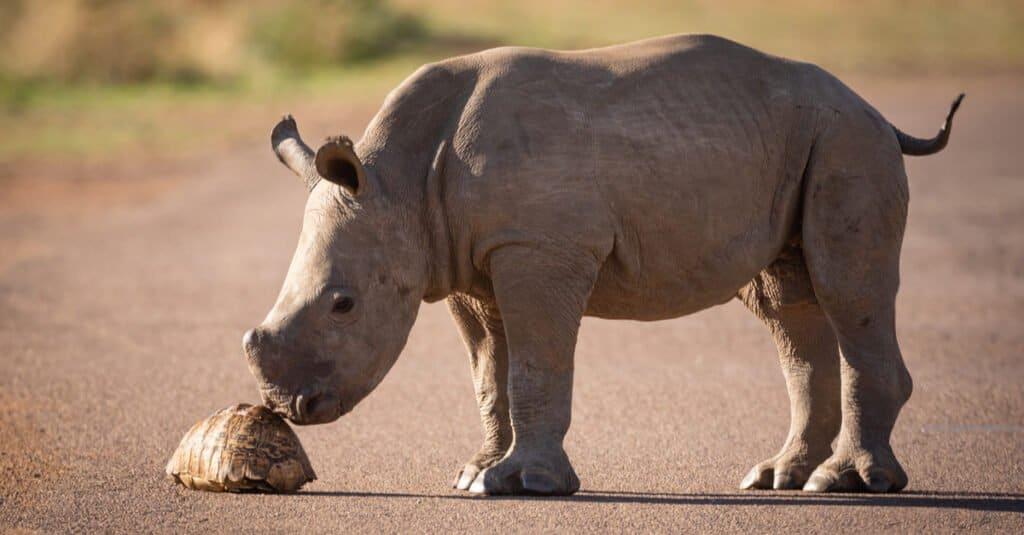 Rhino Baby - A calf exploring a turtle
