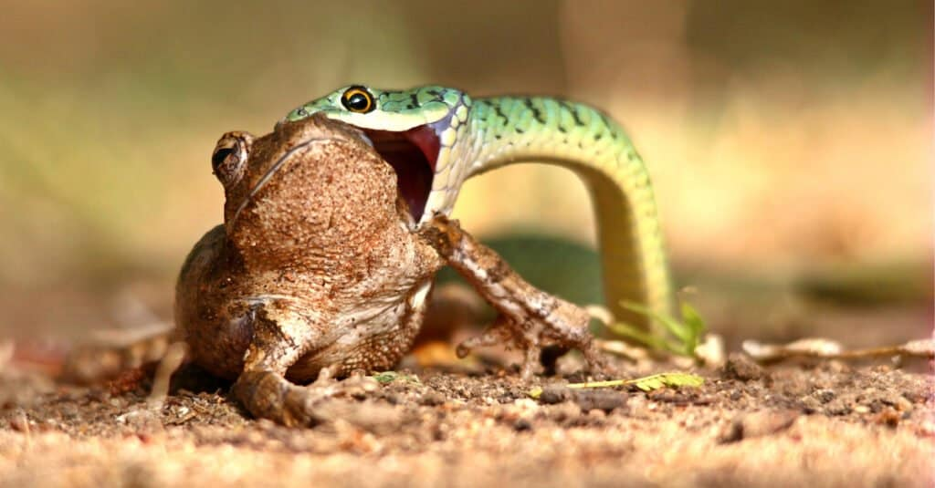 What do snakes eat - snake eating a frog