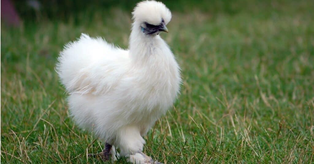 silkie chicken roaming in open field of grass
