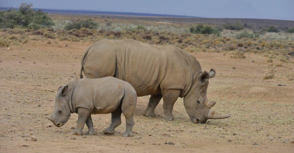Rhino baby - A white rhino mother and her calf