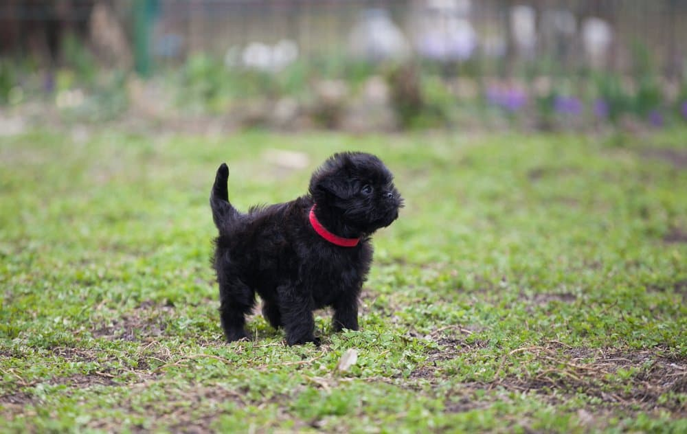 Affenpinscher - one of the best apartment dogs - puppy in grass