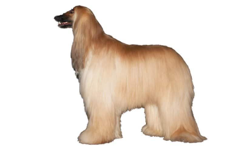 Afghan Hound (Canis Lupus) - beige afghan hound