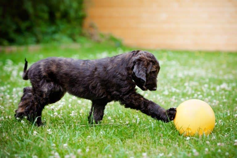 Afghan Hound (Canis Lupus) - puppy playing with ball