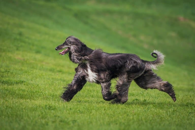 Afghan Hound (Canis Lupus) - running in grass