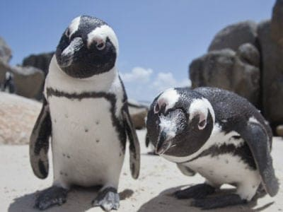 A African Penguin