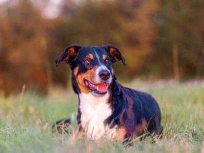 A Appenzeller Dog