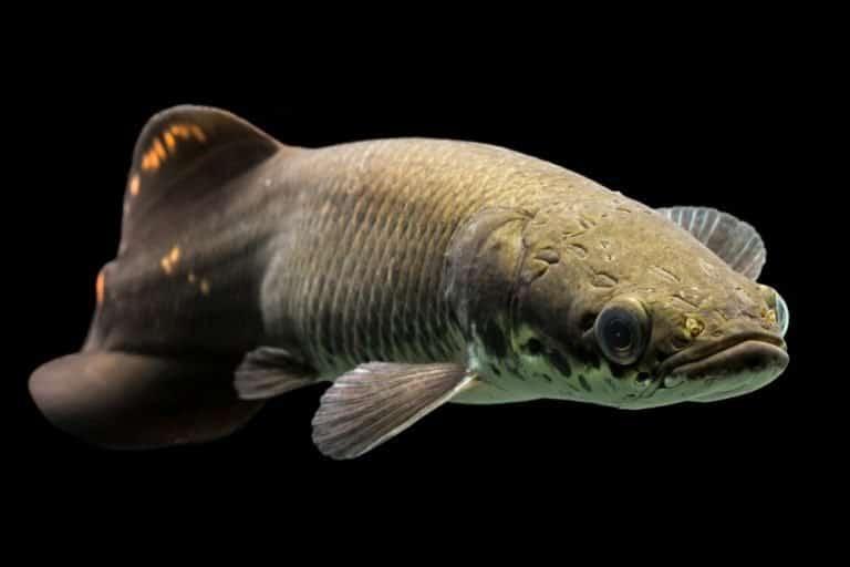 Arapaima amazon fish large juvenile arapaima leptosoma underwater aquarium