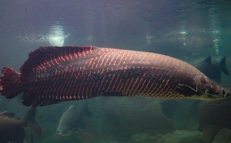 Pirarucu (Arapaima gigas) largest freshwater fish and river lakes in Brazil