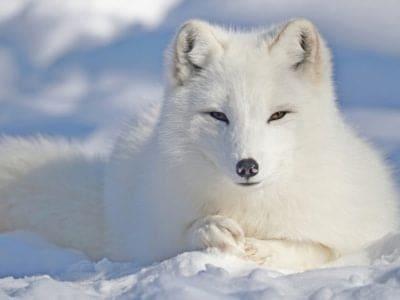 A Arctic Fox