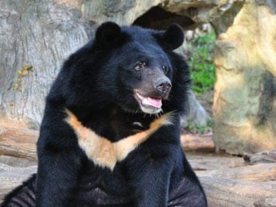 A Asiatic Black Bear