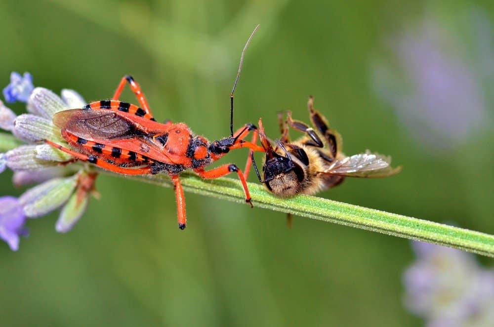 Insecto asesino (Reduviidae) - animal peligroso para los humanos - Los insectos asesinos matan alrededor de 10000