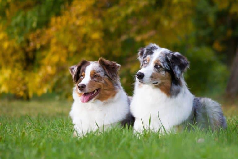 Australian Shepherd (Canis familiaris) - Australian shepherd dogs sitting in grass