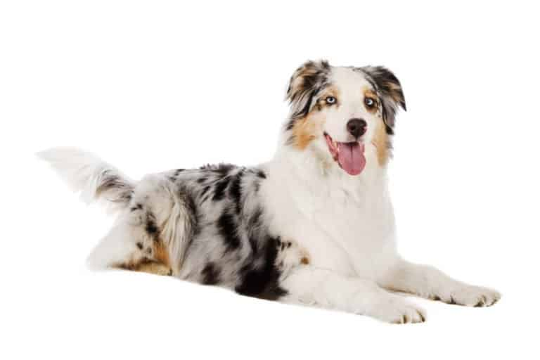 Australian Shepherd (Canis familiaris) - isolated background
