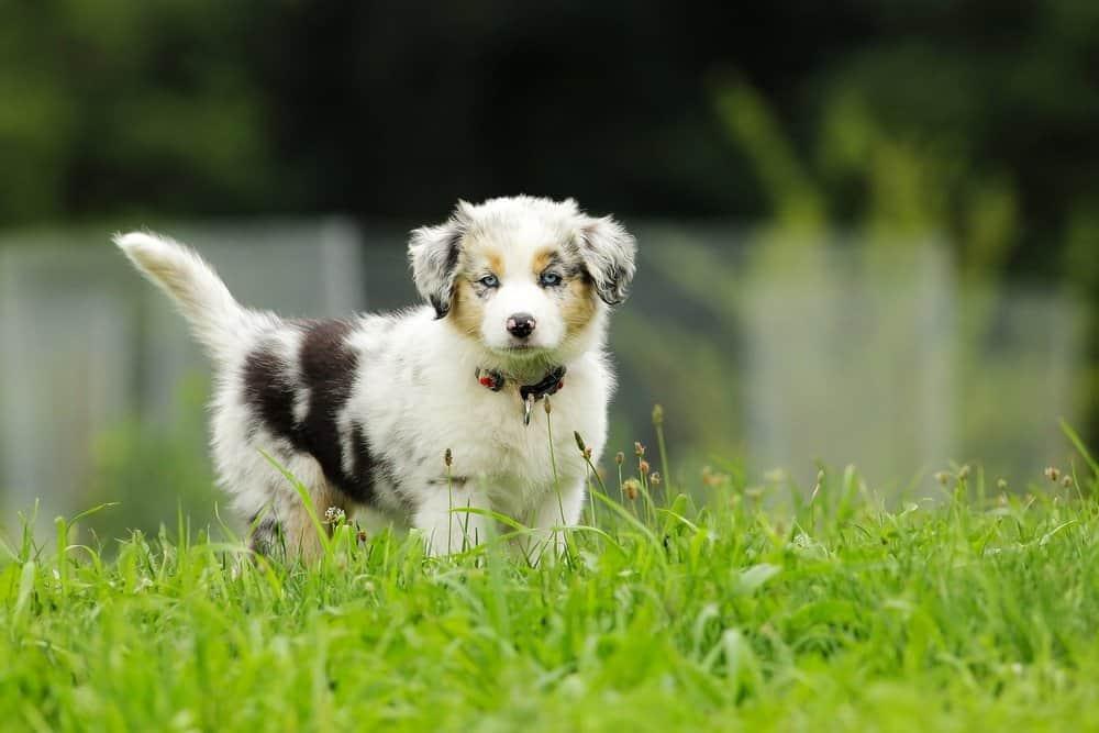 Australian Shepherd (Canis familiaris) - australian shepherd puppy