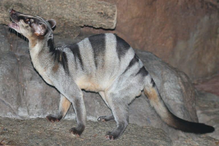 Banded palm civet, zoo animal