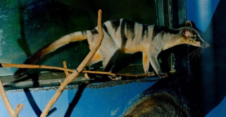 Banded Palm Civet climbing on branch in zoo