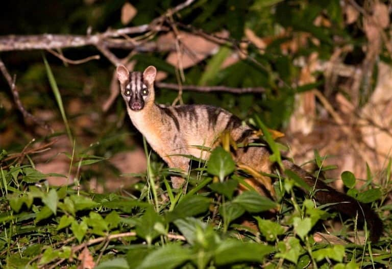 Banded Palm Civet in the jungle