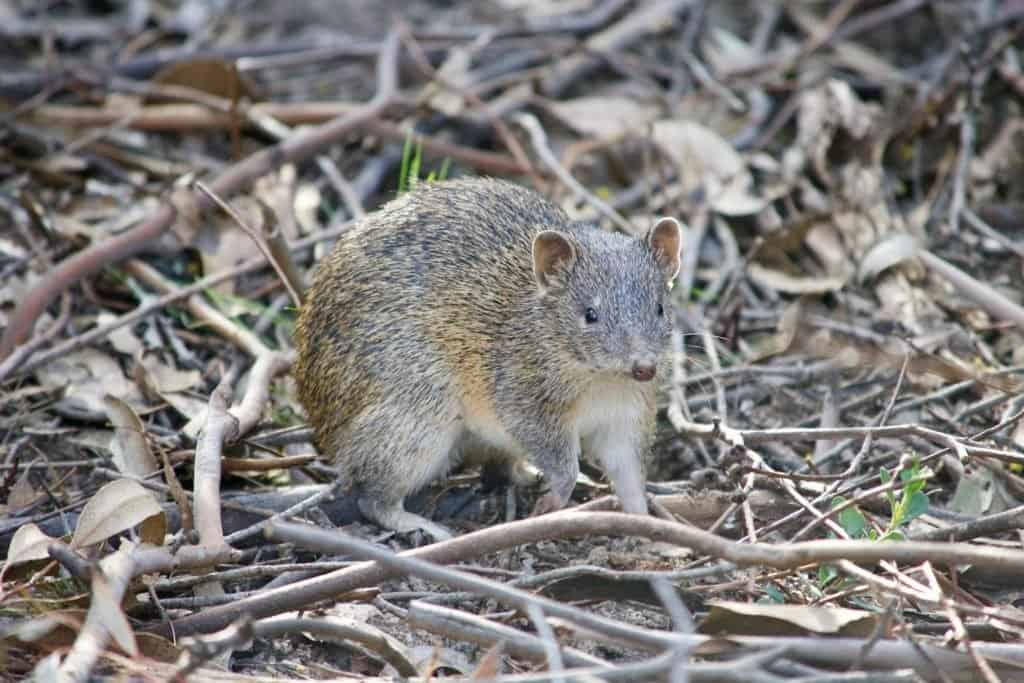 A small bandicoot animal crouching in twigs and leaves.