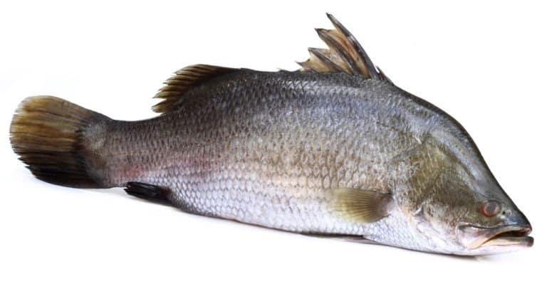 Barramundi or Koral fish of Southeast Asia over white background