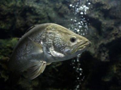 A Barramundi Fish