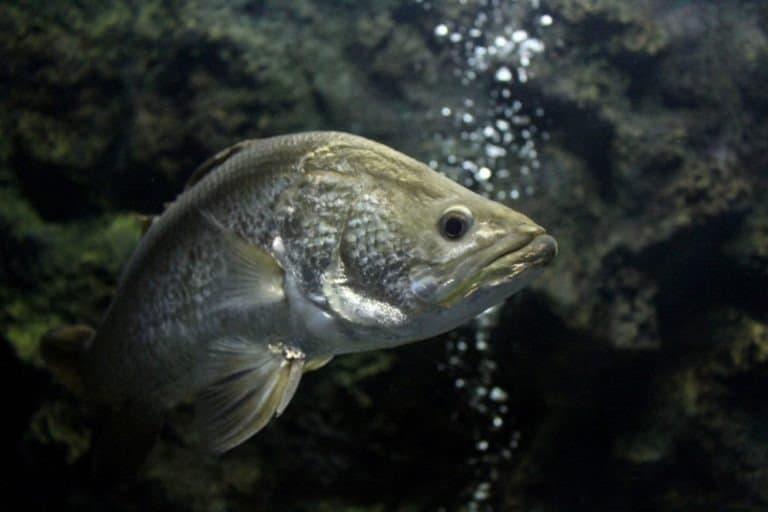 Barramundi (Lates calcarifer)