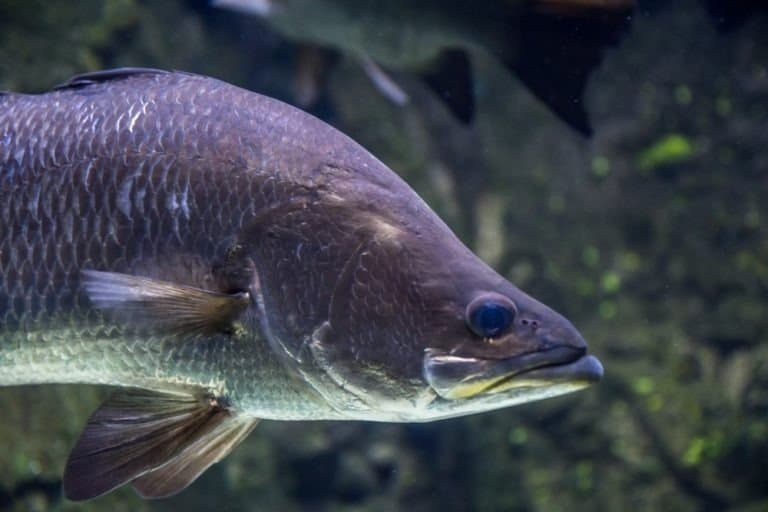 Large Barramundi Swims in water shot from underneath with a natural background of rocks and weed