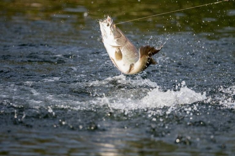 Barramundi jumps into the air when it is hooked by a fisherman fishing