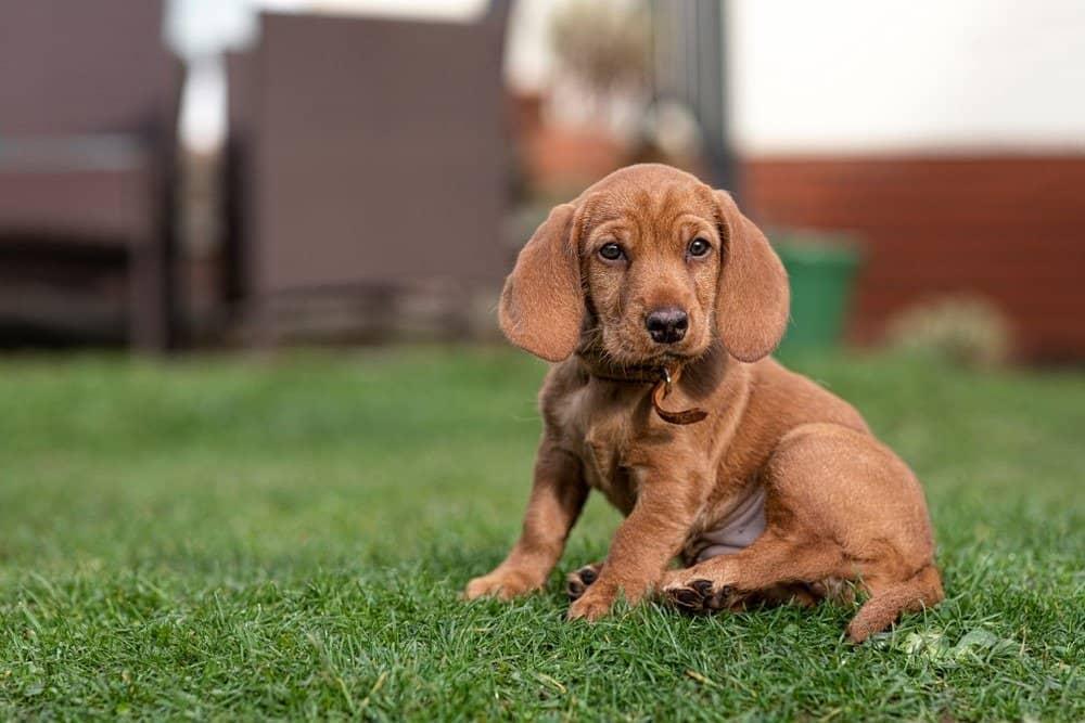 Basset Fauve de Bretagne puppy dog sat on the grass