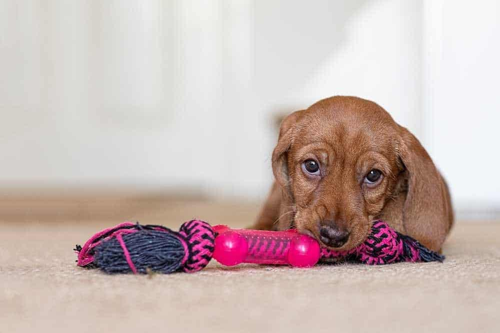 Basset Fauve de Bretagne puppy chewing on a pink rope toy.