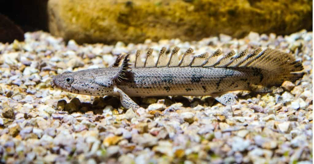Armoured Bichir or Banded Bichir (Polypterus delhezi) ornamental fish from Congo river