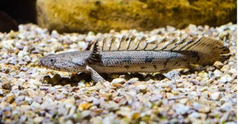 Armoured Bichir or Banded Bichir (Polypterus delhezi) ornamental fish from Congo river
