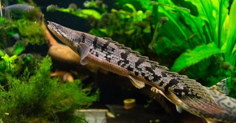 The barred bichir, armoured bichir, bandback bichir, or banded bichir (Polypterus delhezi) is an elongated fish found in the Congo River, specifically in the upper and middle portions.
