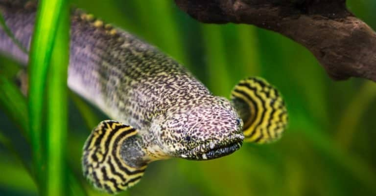 Ornate bichir fish. This fish is found in nature in the waters of West and Central Africa