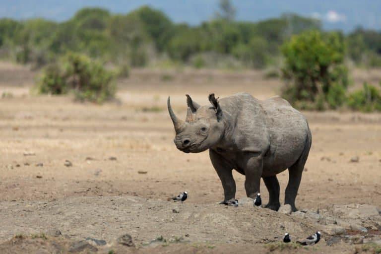 Black Rhinoceros (Diceros Bicornis) - walking through plains
