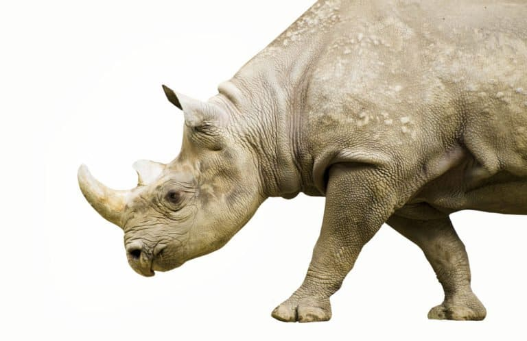 Black Rhinoceros (Diceros Bicornis) - with white background