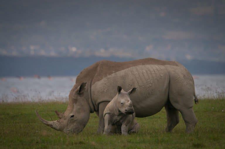 Black Rhinoceros (Diceros Bicornis) - with baby