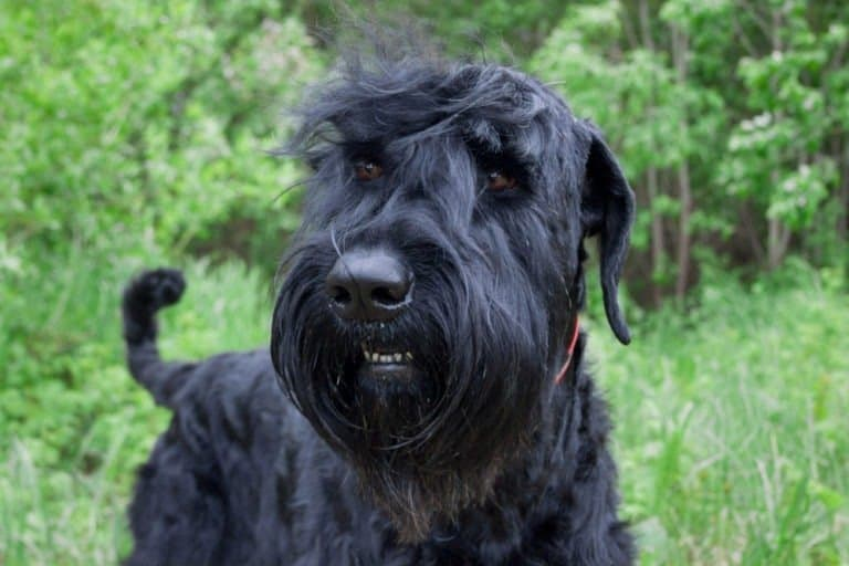 Black Russian Terrier close-up