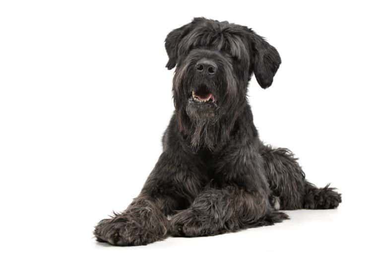 Black Russian Terrier isolated on white background