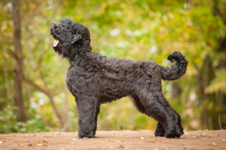 A Black Russian Terrier profile shot