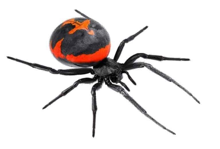 Black widow spider on white background