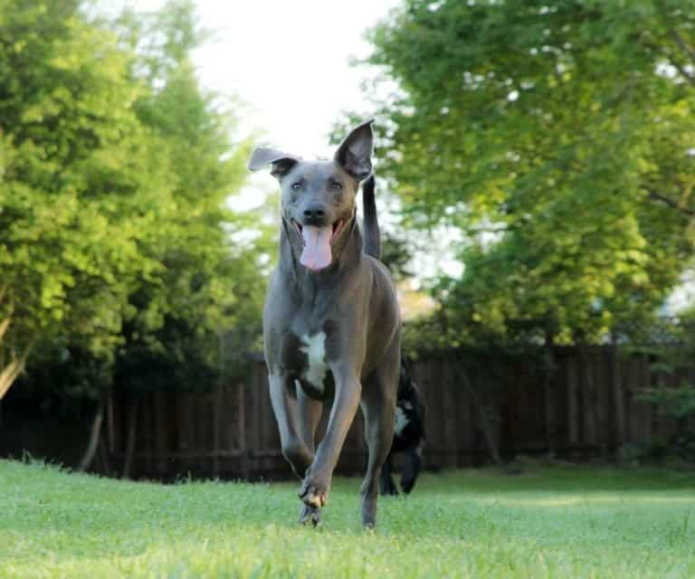 Blue Lacy dog running