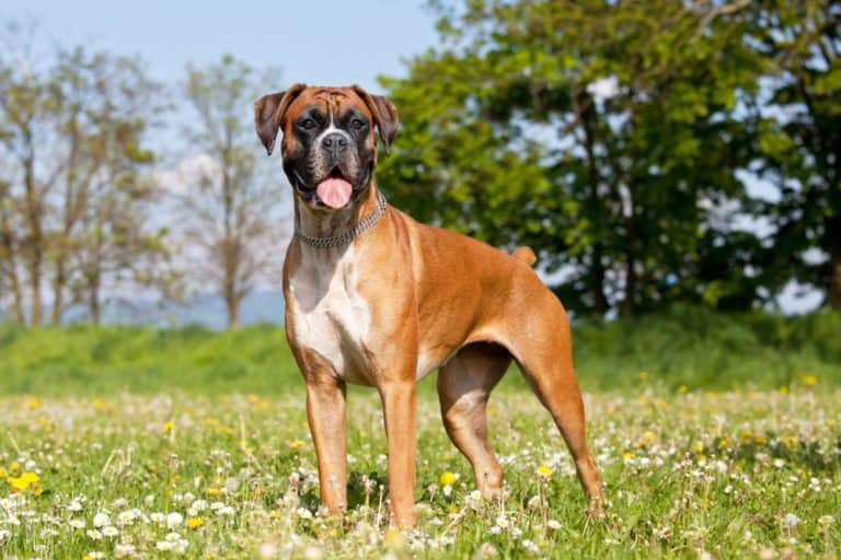 Boxer Dog in grass