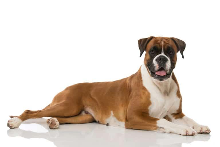 Boxer Dog on isolated background
