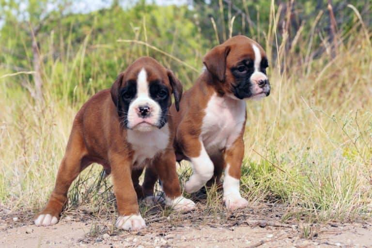 Boxer Dog puppies