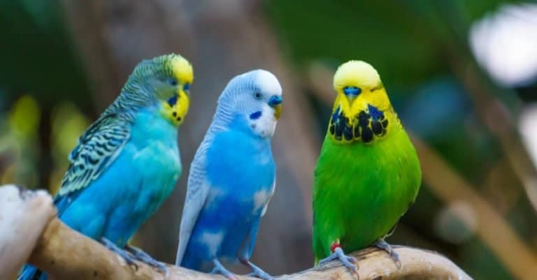 Three cute colorful Budgerigars birds sitting on a branch